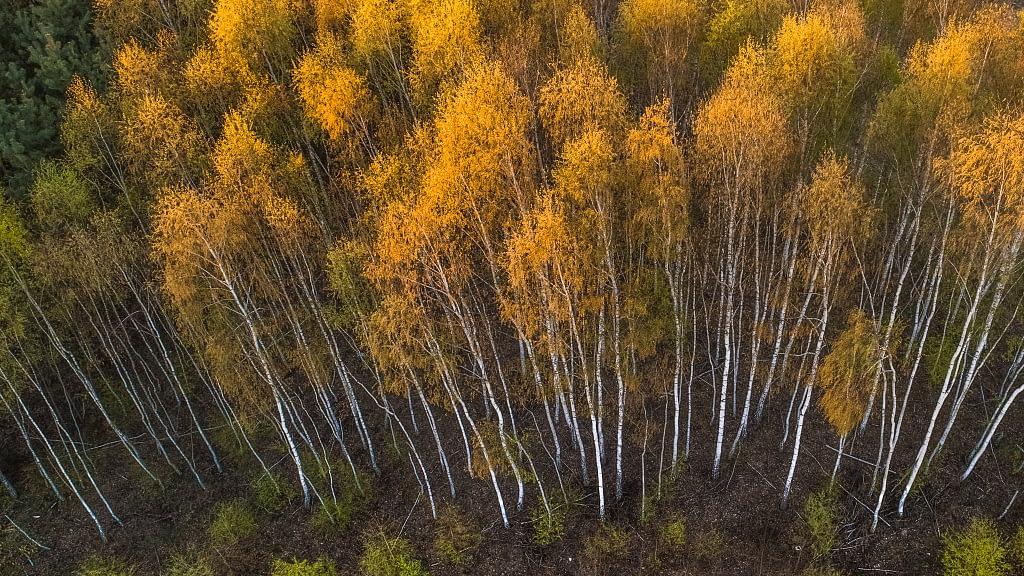 Zdjęcie brzóz w porze jesiennej. Fotografia z drona.